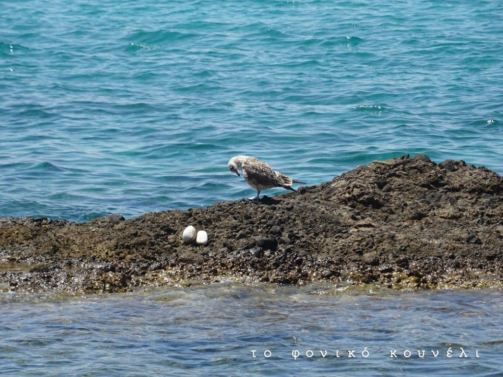 Γλάρος σε παραλία / Seagull in Greece