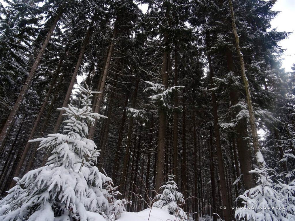 Τα δέντρα του παγωμένου δάσους, Βαυαρία / Frozen trees in a forest of Bavaria